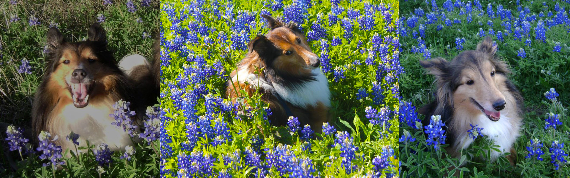 Houston Sheltie Sanctuary